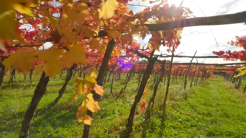 Passing by the vineyard in the autumn | Shutterstock HD Video #21234370