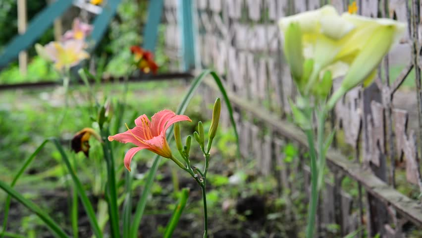 Several flowers daylily in garden near the fence | Shutterstock HD Video #21269422