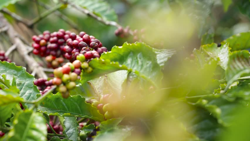 Coffee Beans Cherries