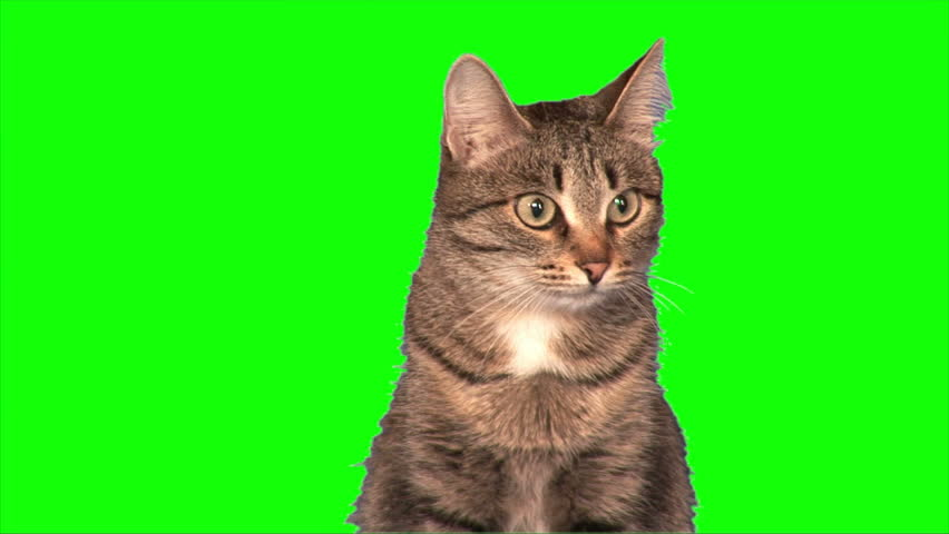 Grey stripy cat sits on green screen (medium shot)