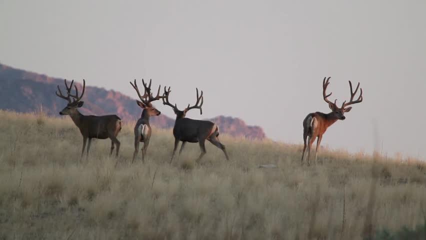 Group of Mule Deer Bucks Stock Footage Video (100% Royalty-free ...