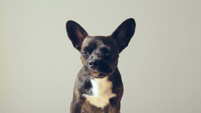 Cute and funny Puppy french bulldog chewing food   Shutterstock HD Video #21429532