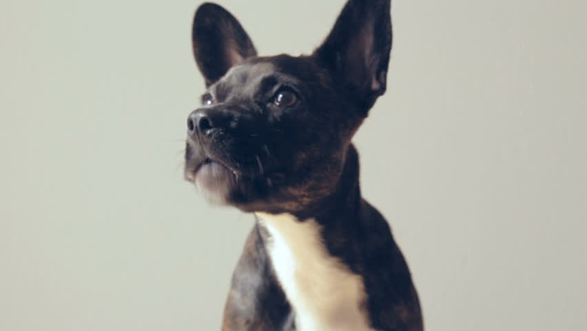 Cute and funny Puppy french bulldog chewing food   Shutterstock HD Video #21438187