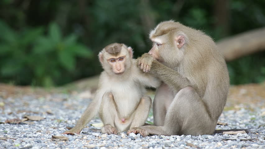 Monkey family in nature ,portrait of wild life