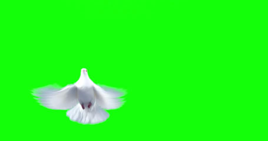 White dove bird flying against green background