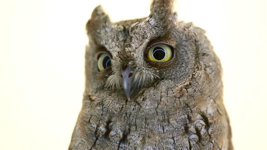 European scops owl on  white screen | Shutterstock HD Video #21742219