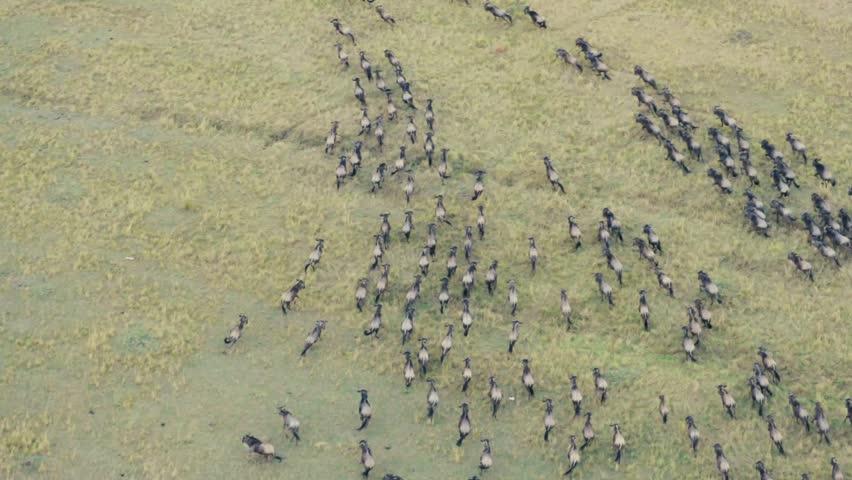 Wildebeest & Zebra run across the Kenyan savanna.