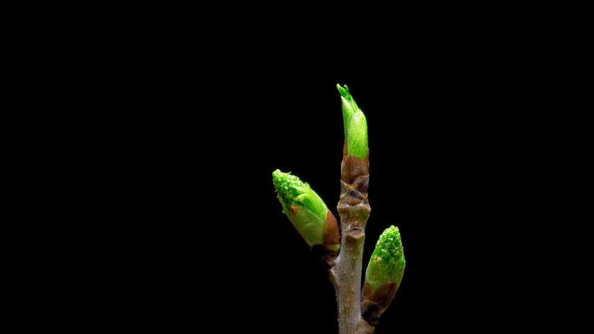 Time-lapse macro leaf bud growing - isolated on black background. Closeup of green twig with leaf buds