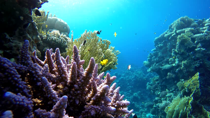 Coral reef, tropical fish. Warm ocean and clear water. Underwater world. Diving and Snorkelling. Life in the ocean. Tropical fish and coral reefs.  Natural environmental conditions.