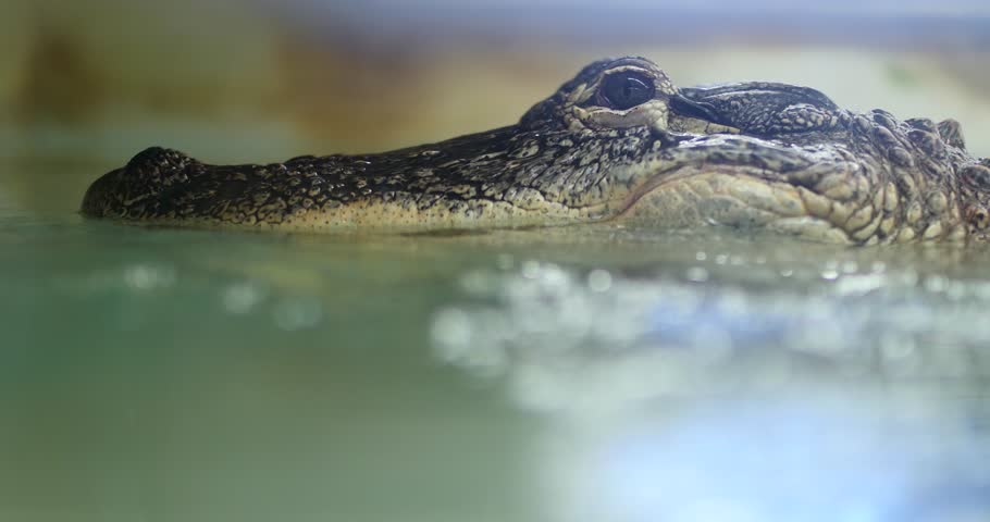 Crocodile Head Close Up in Water