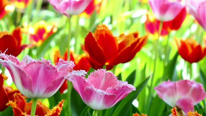 Beautiful spring flowers in sunlight, colorful tulips reeling from side to side