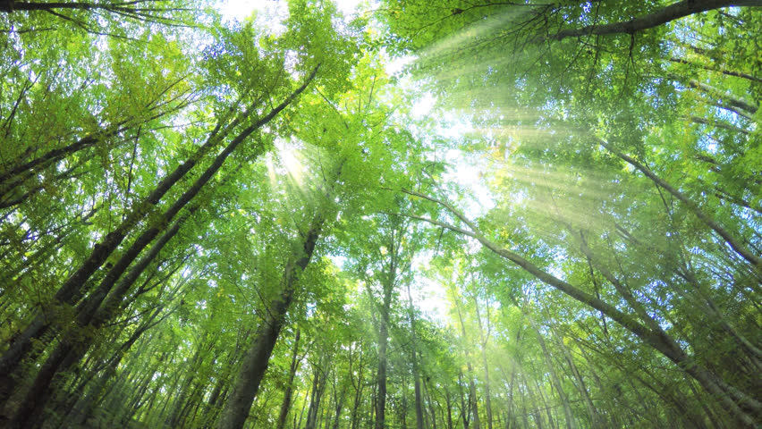 Into the big green forest. Sun rays and long green trees. Spring nature scene. | Shutterstock HD Video #22038652