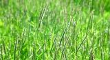Green grass swaying in the wind. (life sound)