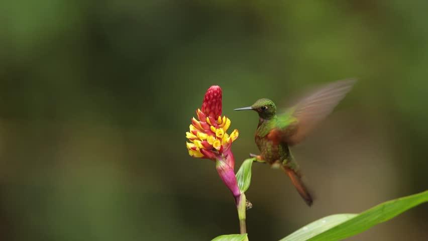 Sparkling green and orange-brown hummingbird Boissonneaua matthewsii,  Chestnut-breasted Coronet feeding on nectar from red and yellow flower, rainy day. San Isidro area, Ecuador