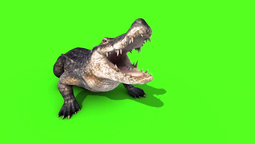 Alligator Crocodile Reptile Attacks Front Loop Green Screen
