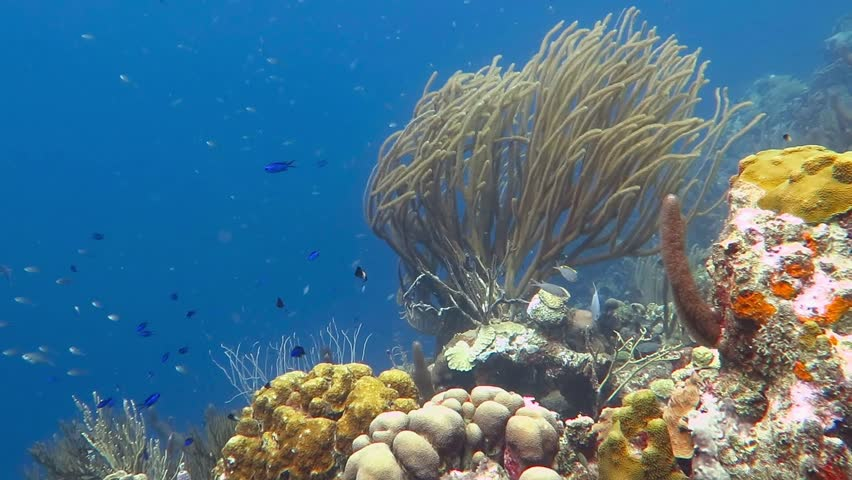 Marine life, underwater video. Vivid coral reef in deep blue with swimming colorful fish. Scuba diving on the tropical reef. Adventure sea vacation.