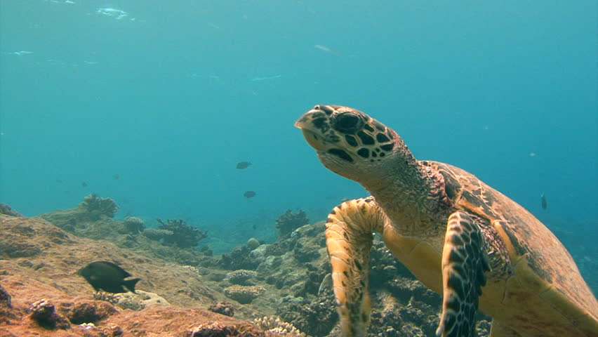 Fascinating underwater diving with sea turtles near the archipelago of Palau. | Shutterstock HD Video #22253257