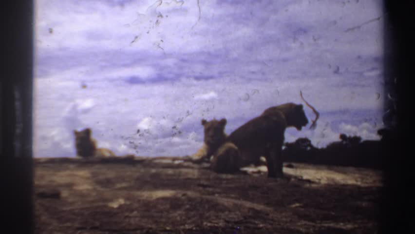 NIGERIA 1969: the three lion sitting very relaxed in sunny atmosfear after one lion go away.