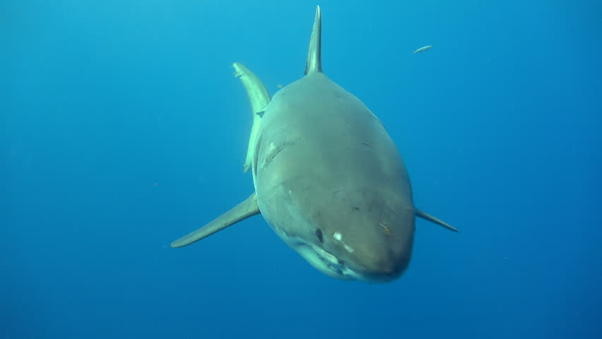 Fascinating underwater diving with Great white sharks. The Island Of Guadalupe. Of the Pacific ocean. Mexico.