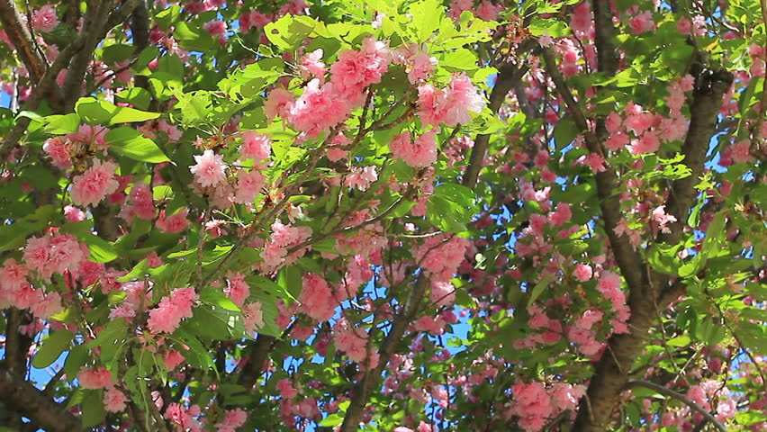 Beautiful Spring Blooming Pink Flowering Tree And Blue Sky
