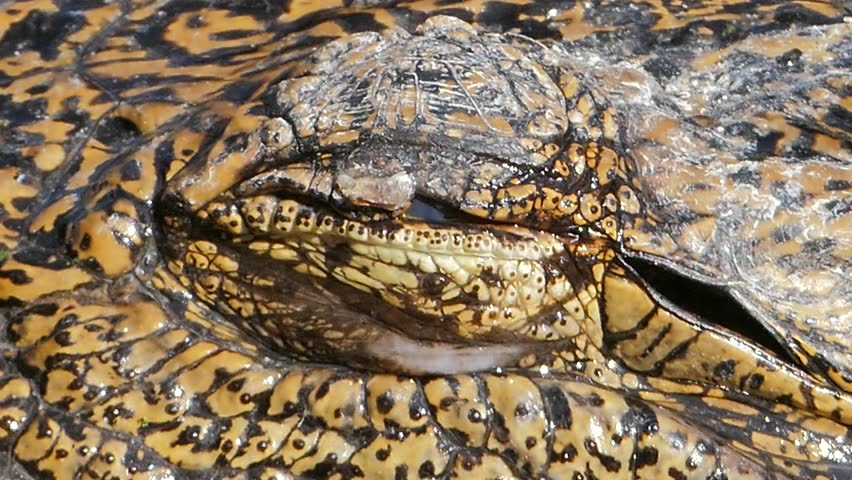 Closed up of crocodile's eye when open eyes.