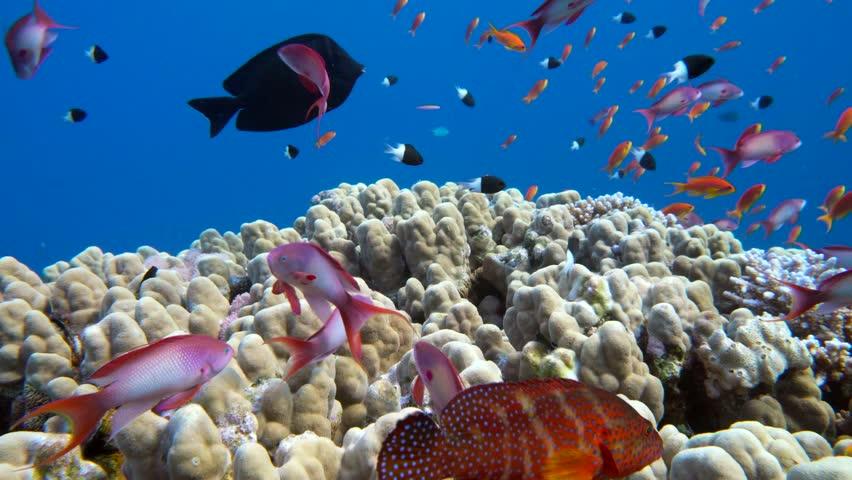 Underwater coral reef (porites nodifera) with tropical fish (anthias) in ocean.   Shutterstock HD Video #22507810