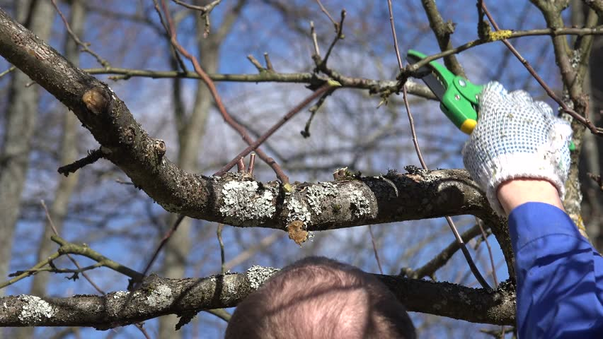 How to bring your old apple tree back to its former glory