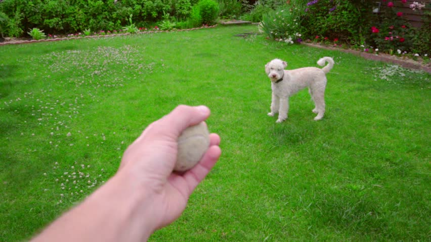 Man hand throwing ball. Dog playing with toy. Dog fetch ball. Man playing with dog. White poodle chasing ball. White pet playing outdoor