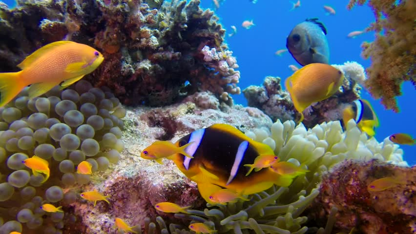 Underwater Colorful Tropical Fishes with Clownfish. Picture of a wonderful and beautiful underwater colorful fishes and corals in the tropical reef of the Red Sea, Dahab, Egypt.