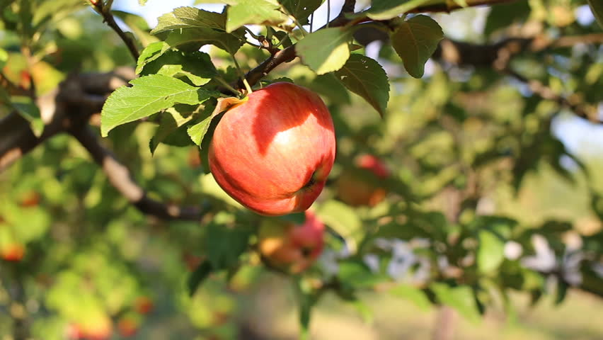 Apple on tree/Fruit/Nature/garden/farmer