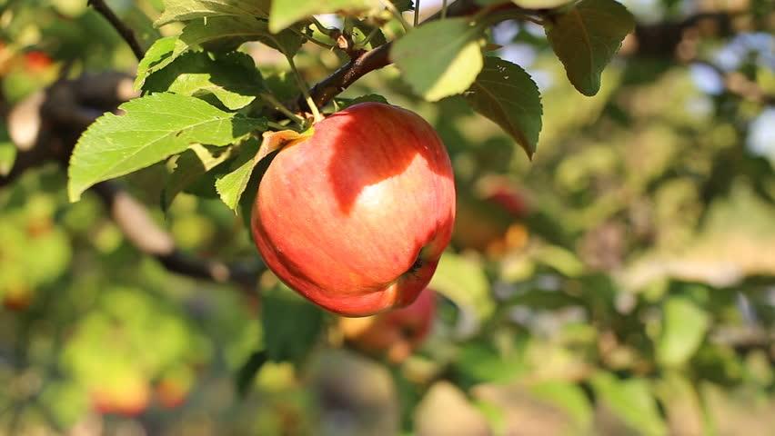 Apple on tree/Fruit/Nature/garden