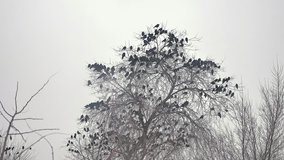 flock of birds taking off from a tree, a flock of crows black bird dry tree. a huge flock of birds takes off from a dry tree slow motion video. flock of birds take off