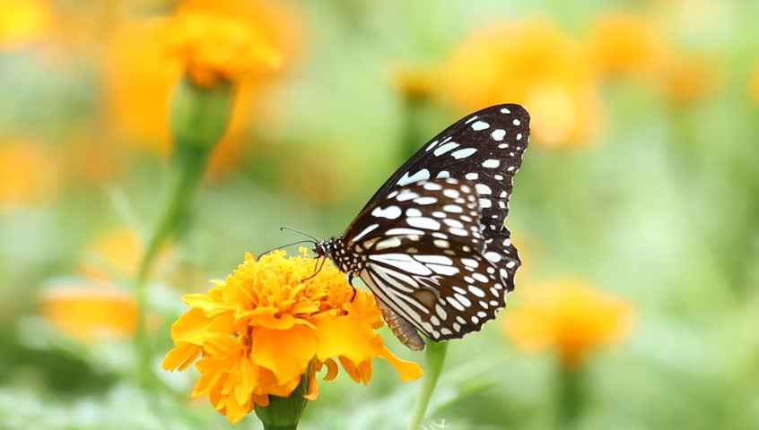 Black butterfly with flowers and with green leaves. | Shutterstock HD Video #2258344