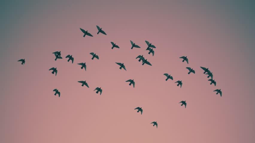 Flock of birds flying over sunset sky background. Slow motion.