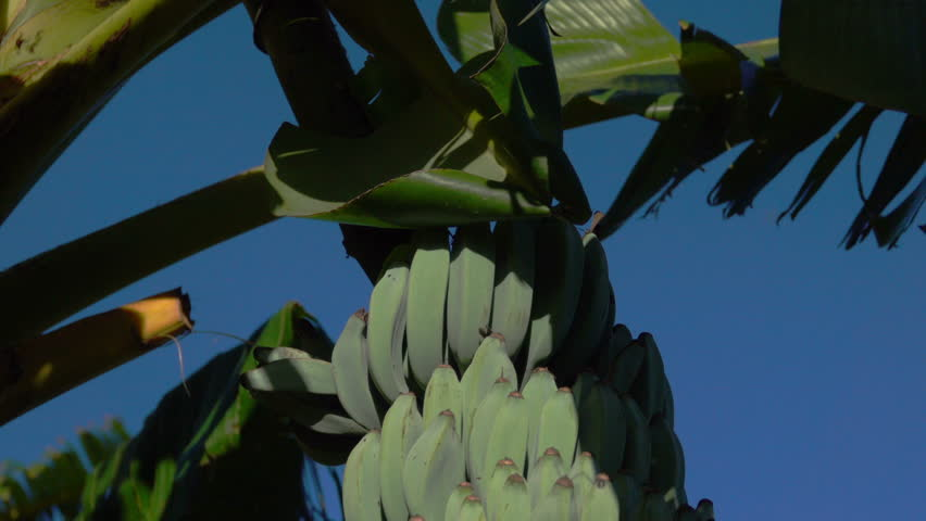 Banana Flower on Plant | Shutterstock HD Video #22669372