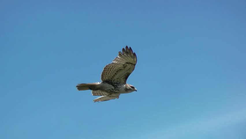 Red Tailed Hawk hovers in strong windy weather