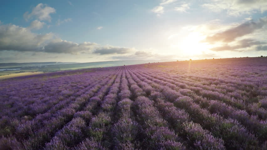 Aerial nature video. Flight over lavender meadow. Agriculture industry scene. Nature scene composition. | Shutterstock HD Video #22715488