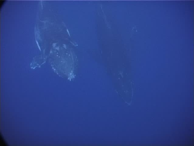 Humpback whale (Megaptera novaeangliae) swims close to camera underwater in Tonga