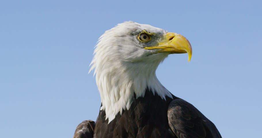 4K Close up on the face of a Bald Eagle in natural environment. Dec 2016-UK