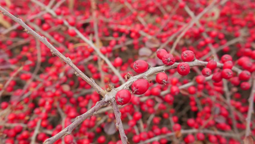 Winter Red Berries Ornamental Bush Stock Footage Video 100 Royalty Free 22822639 Shutterstock