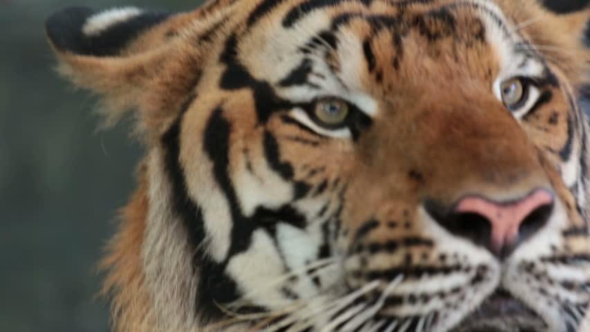 Pattaya, Thailand on November 24 Muzzle Tiger close-up #22827409