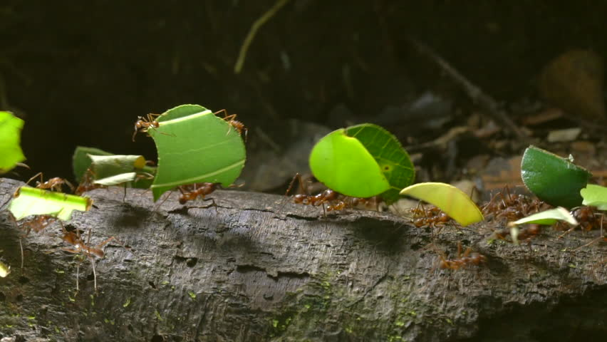 Slow motion shot of leaf cutter ants (Atta sp.) carrying pieces of leaves along a branch in the rainforest, Ecuador. Tiny workers (minims) are riding on the leaves.
