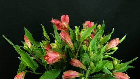 Time-lapse of opening pink peruvian lilies 1