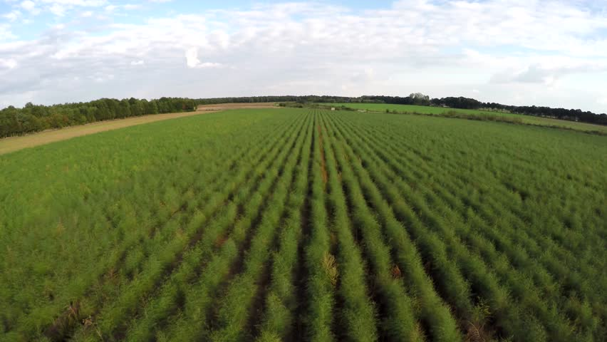 Aerial footage flying over overgrown green Asparagus field showing foliage of mature native asparagus with seed pods used for growing asparagus next season plants setup in rows next to each other 4k