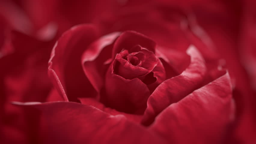 Close up of opening dark red rose, blooming dark red rose, beautiful 3d animation