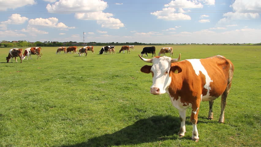 Cows Grazing On Pasture Stock Footage Video 100 Royalty Free 2293748 Shutterstock