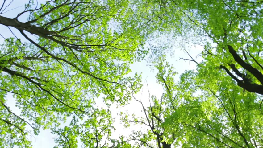 Green trees on sky background. Branches and foliage. Raise your head. Royalty-Free Stock Footage #22961734