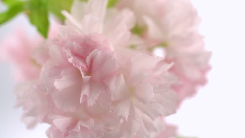 Water drops hitting cherry blossom shooting with high speed camera, phantom flex. | Shutterstock HD Video #2313269
