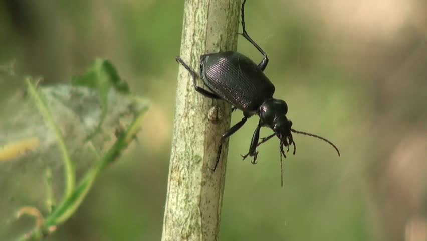 Black beetle stopped sitting on a branch   Shutterstock HD Video #2314067
