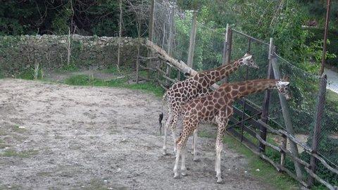 Giraffe ,Giraffa camelopardalis  ,Handheld camera Balanced Steady shot